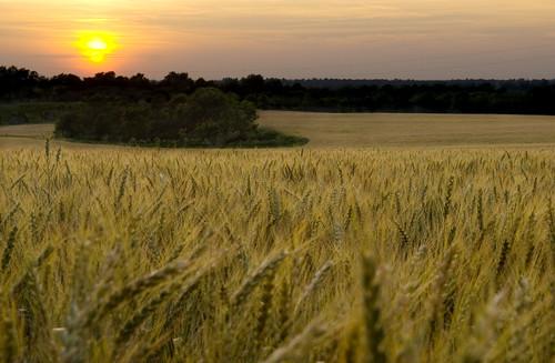 sunset farm kentucky wheat bourboncounty