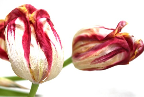 Dried up Tulips