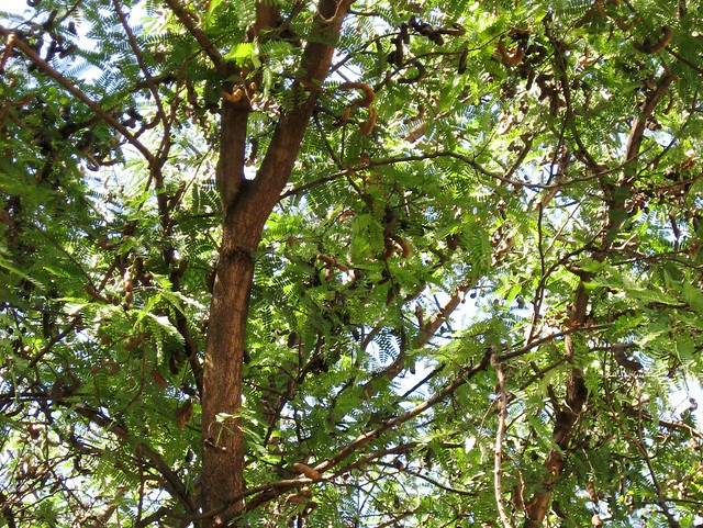 Tamarind Tree and Fruit | Flickr - Photo Sharing!