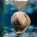 Manatee_In_Light_22