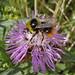 Small photo of Hymenoptera: Apidae :