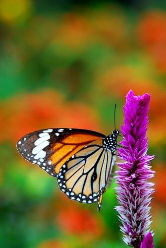Vang Vieng Butterfly
