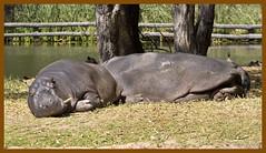 Hippopotamus at Dubbo Zoo-2&
