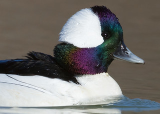 Bufflehead by Steve Gifford