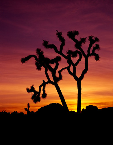 Lonely Joshua Tree Sunset