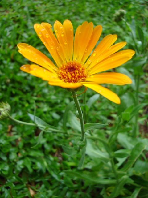 cal ndula calendula officinalis flickr photo sharing. Black Bedroom Furniture Sets. Home Design Ideas
