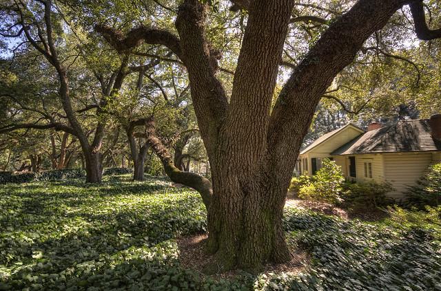 Live Oak Hopelands Gardens Flickr Photo Sharing