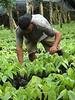 cocoa plants