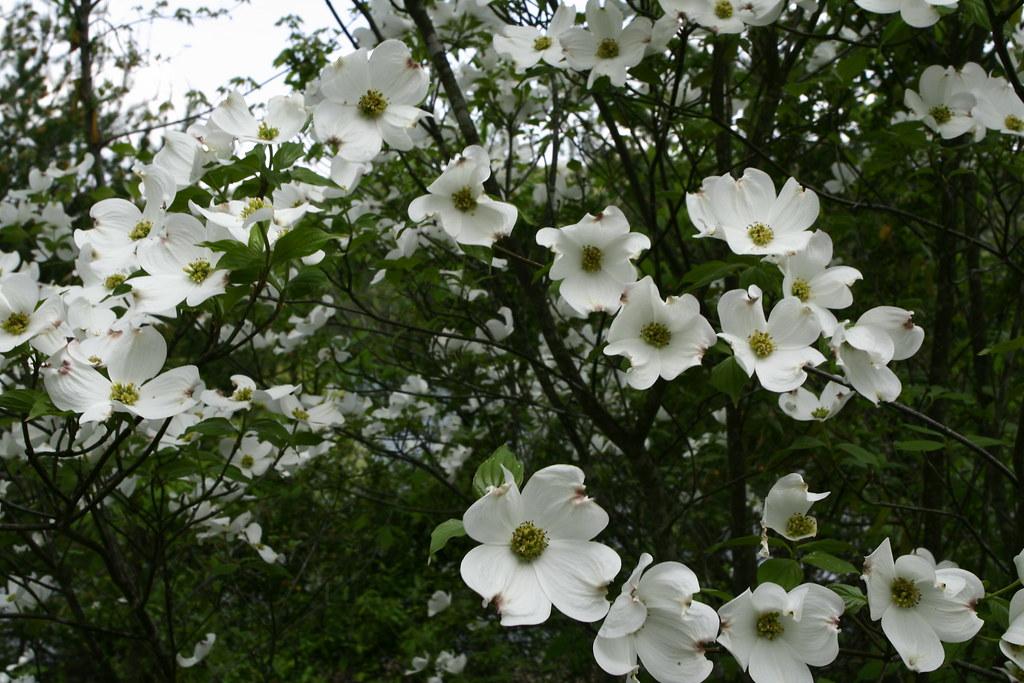 White Flower Spring Tree Spring Flowers In Bloom Forestwan Flickr