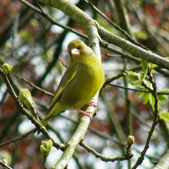 verdier / european greenfinch