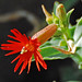 Cardinal Catchfly - Photo (c) Jerry Oldenettel, some rights reserved (CC BY-NC-SA)