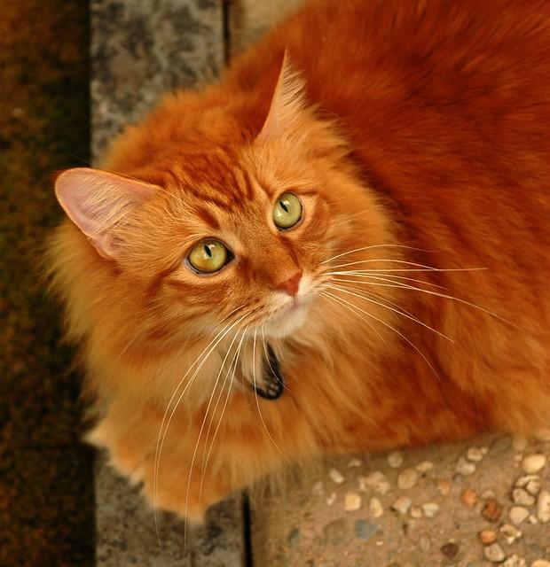 aristocat kitten