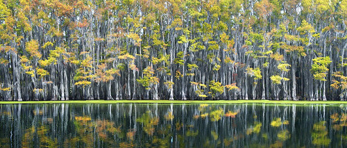 wood autumn panorama usa lake color colour reflection tree fall gulfofmexico nature wet water wall forest swim landscape la leaf moss stem texas underwater gulf unitedstates flood outdoor tx south scenic wave panoramic calm southern spanish bayou rows swamp lousiana wetlands mysterious mystical cypress float caddo stitched mystic drown rhythm uncertain afloat deluge gulfcoast tejas deepsouth submerge