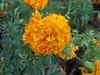 Florecita amarilla