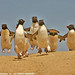 Rockhopper Penguins charging from colony to sea IMG_3068 by WildImages
