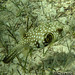 Juvenile Whitespotted Pufferfish