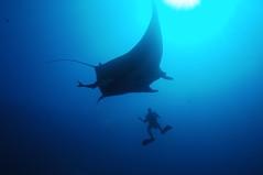 carcharhiniformes(0.0), animal(1.0), manta ray(1.0), fish(1.0), ocean(1.0), marine biology(1.0), underwater(1.0), cartilaginous fish(1.0),