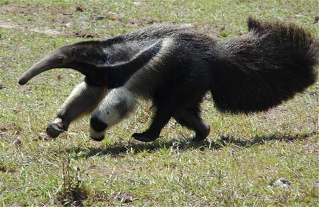 Pantanal: Ameisenbär, Giant anteater copyright www.explorepantanal.com