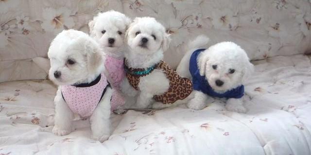 Bolognese Puppies Cindy Jensen Flickr
