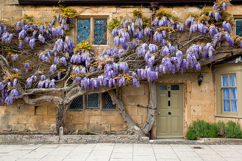 wisteria (thanks for the answer folks)