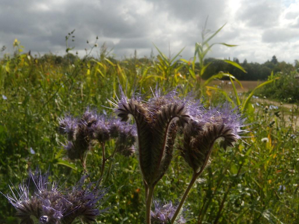 Mystery plant Edenbridge to Westerham