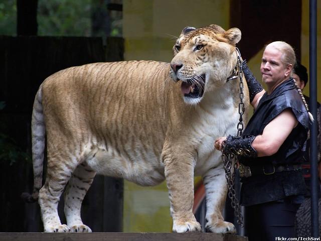 Big Cat Show - Liger
