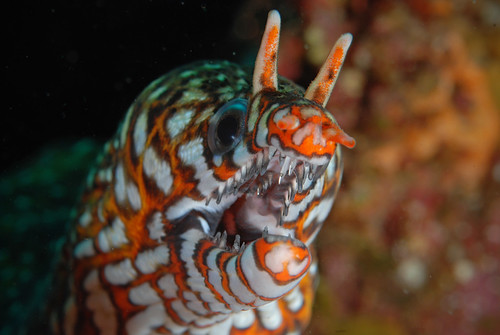 Leopard moray dentist check