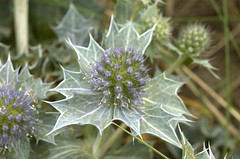 Eryngium maritimum (Sea Holly / Blauwe zeedistel) 0486 by Bas Kers (NL)