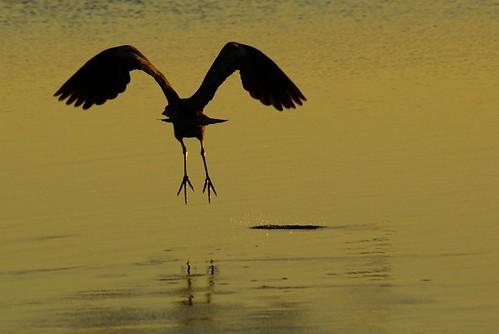 birds silhouette sunrise golfcourse dcist potomacriver greatblueheron ardeaherodias mtvernontrail alexandriavirginia fairfaxcounty bellehaven georgewashingtonmemorialparkway bellehavencountryclub cameronrun