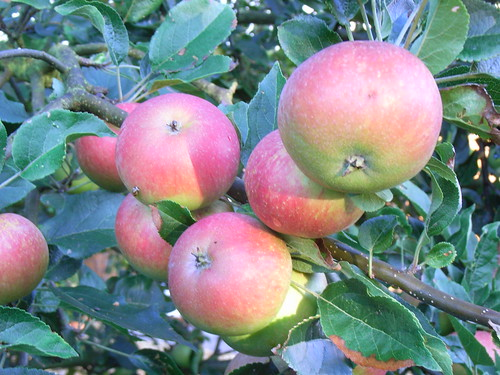 Garden Apples, July 2009