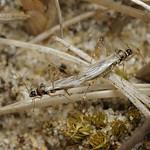 tüskés szúnyogpoloska - Gampsocoris punctipes