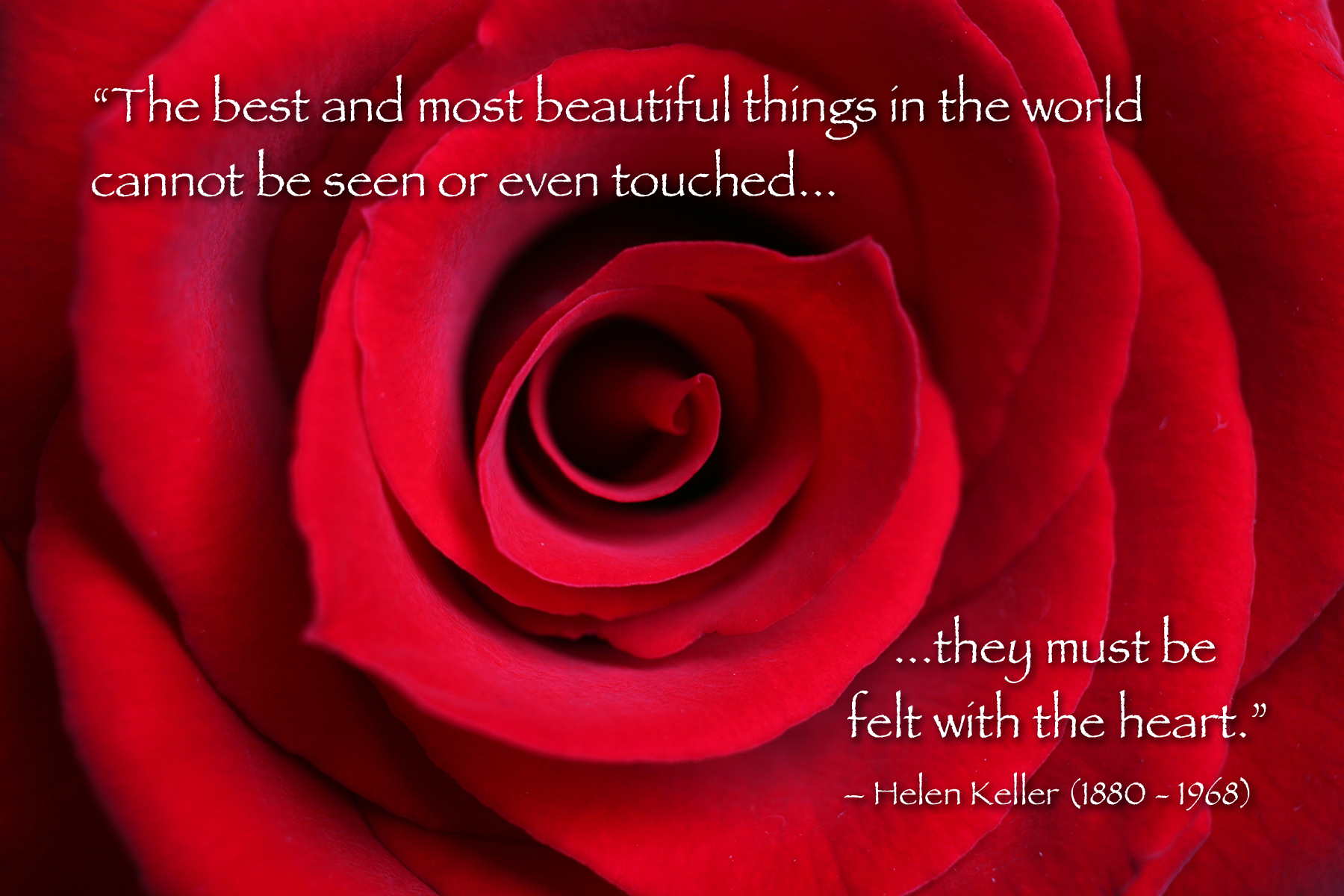 Red Rose Macro With Helen Keller Quote