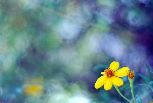 california blue wild sun flower green nature yellow garden flora dof bokeh explore bloom ventura nikkor50mm18 nikond80