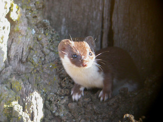 "Mouse Weasel, ""Breite Plateau"" near Sighişoara, Romania"