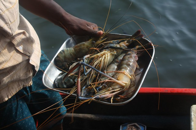 Freshwater Shrimp Farming - How to Start Your Own Shrimp ...