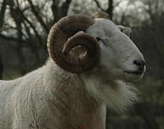 goats(0.0), domestic goat(0.0), goat-antelope(0.0), animal(1.0), sheeps(1.0), sheep(1.0), argali(1.0), mammal(1.0), horn(1.0), barbary sheep(1.0), fauna(1.0), bighorn(1.0),