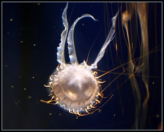 Aquarium of the Pacific ~ Jellyfish