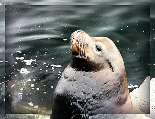 Snobby Seal