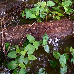 Swamp Resident