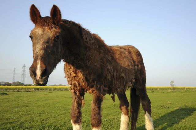 Les chevaux atteints de cushing ont besoin de soins.