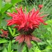 Scarlet Bee Balm - Photo (c) Shihmei Barger 舒詩玫, some rights reserved (CC BY-NC-ND)