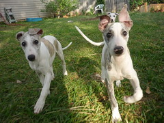 dog breed, animal, hound, magyar agã¡r, dog, whippet, pet, lurcher, ibizan hound, greyhound, carnivoran, terrier,