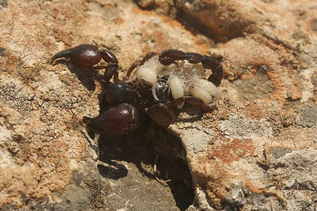 Скорпион (Maurus fuscus) с детенышами, фото паукообразные фотография картинка животные