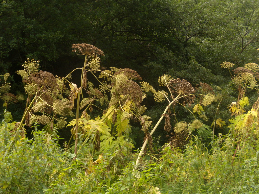 Giant Hogweed A noxious weed with corrosive sap that can scar you for life. But pretty spectacular. These were 8-10 ft tall. Wanborough to Godalming