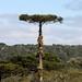 Aechmea recurvata no habitat - 9 by Luiz Filipe Varella