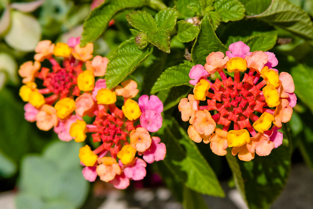 cd598 lantana flickr photo sharing