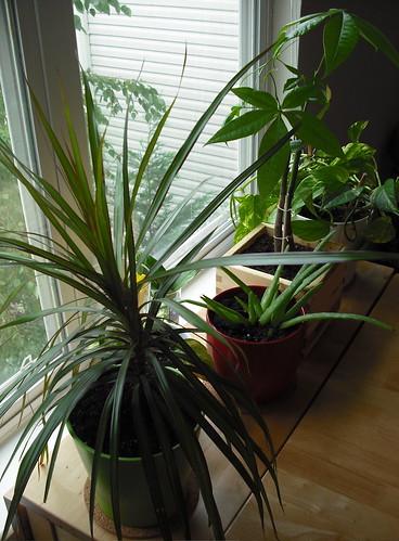 piante in casa vicino alla finestra