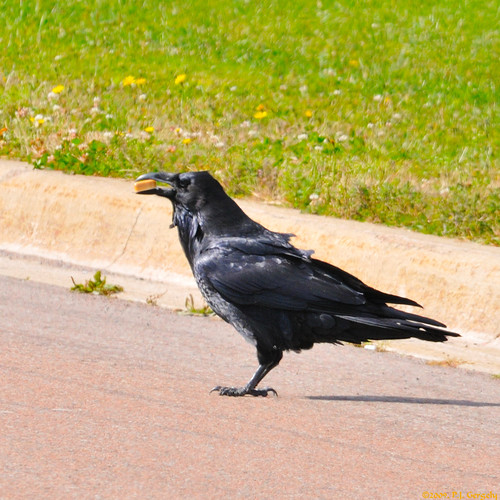 birds geotagged cropped crows ravens allrightsreserved©drgnmastrpjg rawjpg geo:lat=46116394 geo:lon=64689034