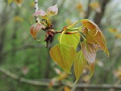 Populus nigra (48°08´ N 16°27´ E)