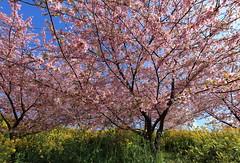 Sakura and Wild turnip / Sakura and Brassica rapa / 菜の花(なのはな)と桜(さくら)